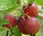 StikkelsbærHinnonmakii